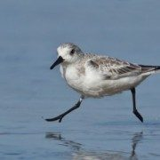 Sanderling-by-Chris-Mayne-600x600-300x300-180x180