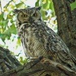great_horned_owl_anneelliot